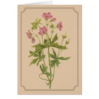 Vintage botanical drawing of a Wild Geranium