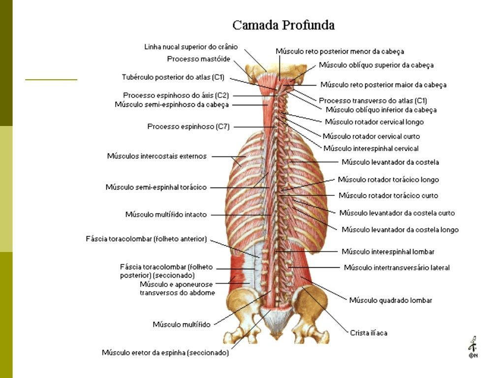 Músculos Suboccipitais Reto posterior maior da cabeça Reto posterior menor da cabeça Oblíquo inferior da cabeça Oblíqu...