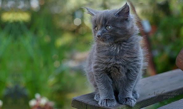 Maine Coon Hodowla Kotów Rasowych Nightwalker Gniezno