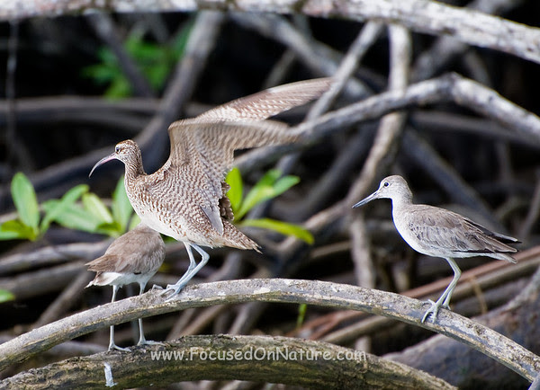 Whimbrel and Willet