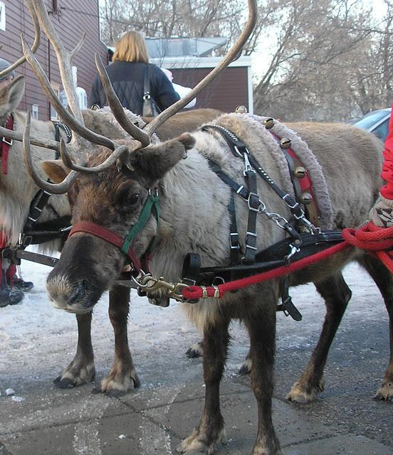 Reindeer at the Cottagewood GeneralStore