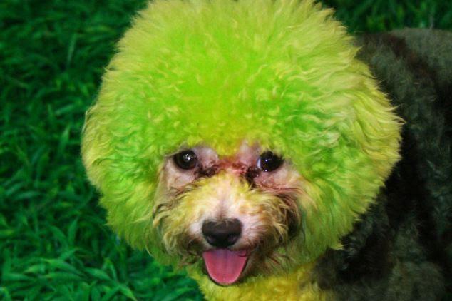 Buscando: Este cãozinho faz os outros verdes de inveja por causa de seu look colorido novo