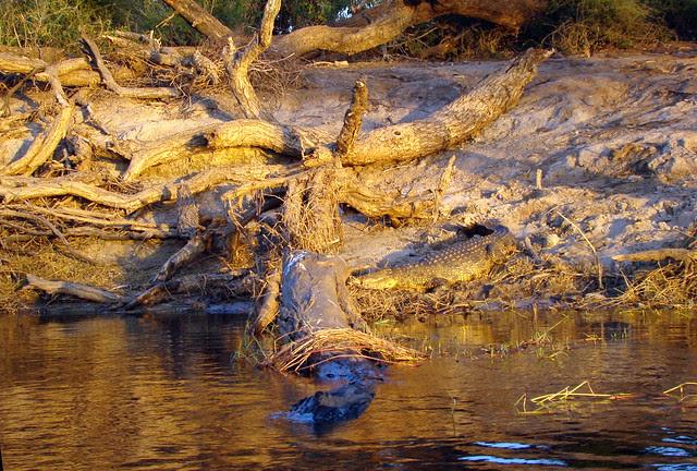 DSC09436 Nile Crocodile