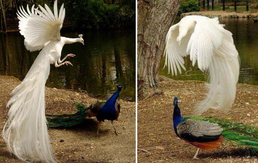 pavos-reales-volando (4)