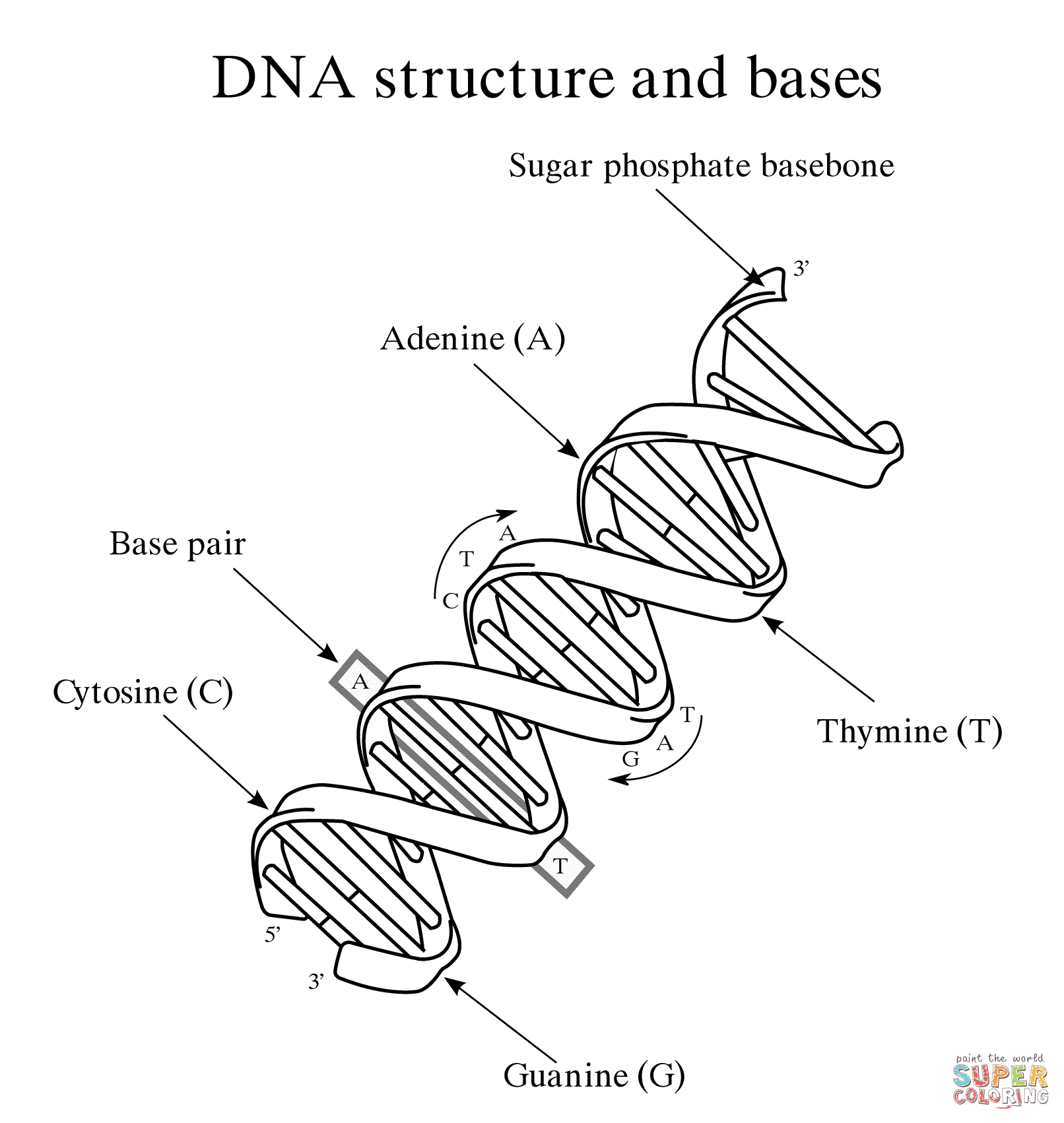 dna structure and bases coloring pages
