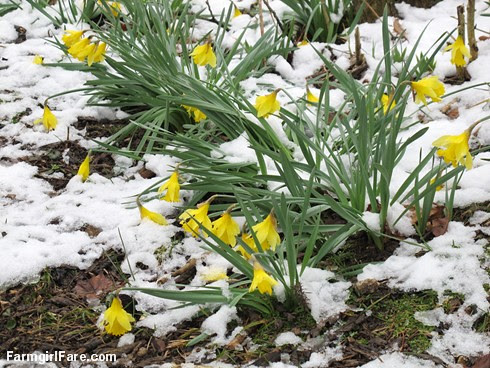 Hello spring (1) - Daffodils in the snow - FarmgirlFare.com