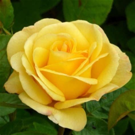 Giftaplant ROSE GOLDEN WEDDING, Buy Golden Wedding Plants