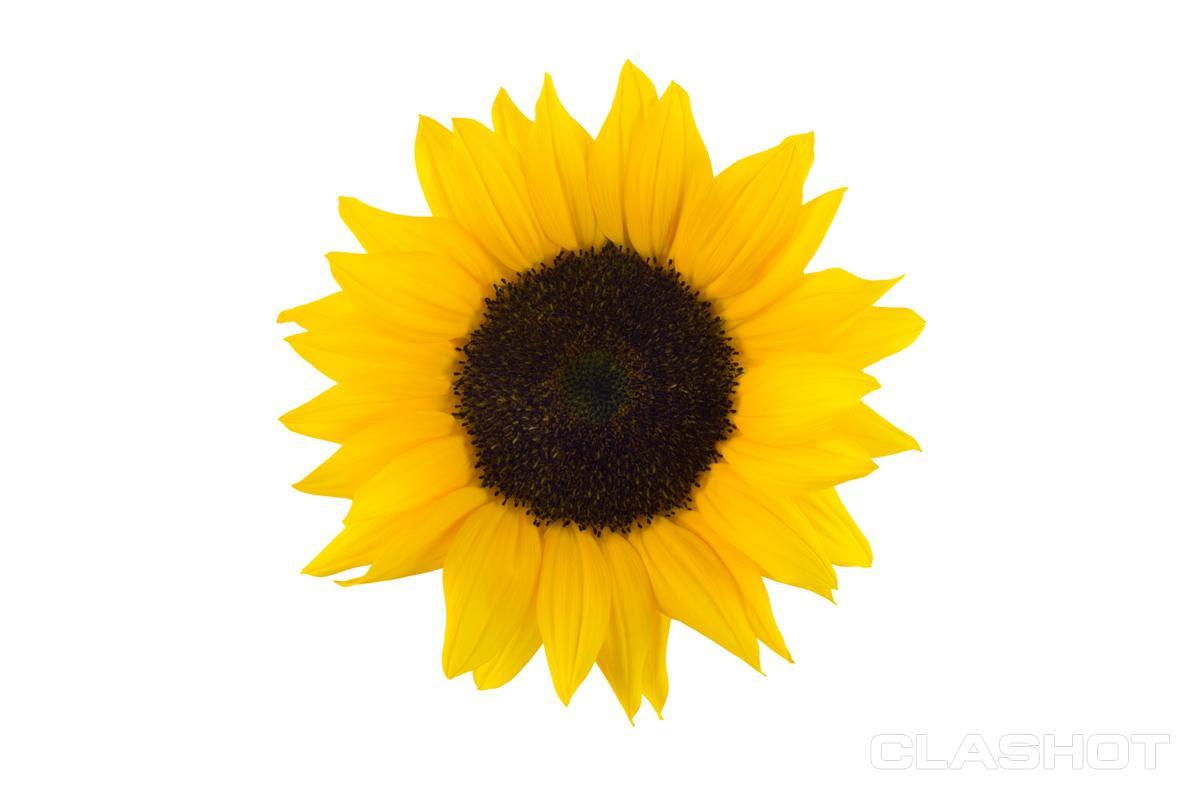Sunflower White Background No Watermark | Wallpapers Gallery