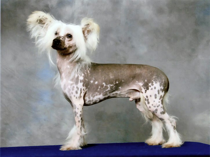 Chinese Crested Dog Dog Breed Puppies