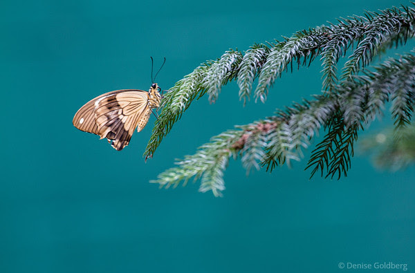 butterfly, posing