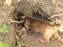 stump digging by Teckelcar