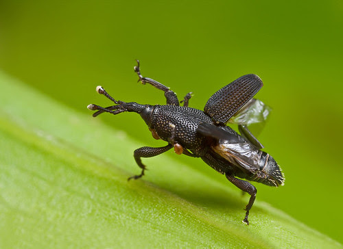 weevil taking off IMG_4672 copy copy