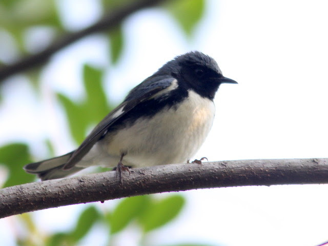 Black-throated Blue Warbler 20110414