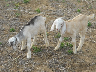 New 2012 Goat Bucks Junior and Albert