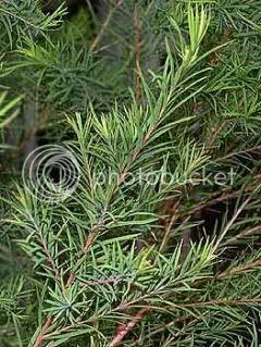 pokok tea (malaleuca alternifolia)