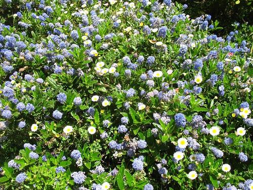 Ceanothus + weedy Erigeron (Blake Garden)