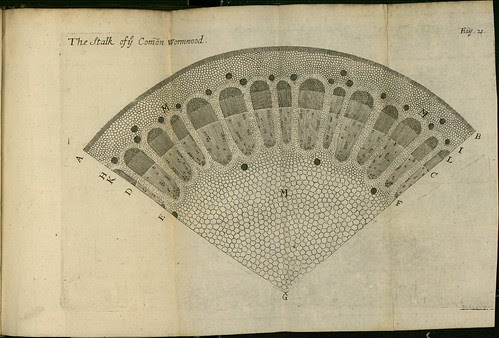 The Stalk of the Common Wormwood - The comparative anatomy of trunks - Nehemiah Grew 1675
