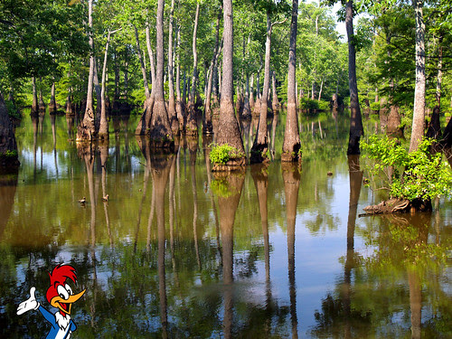Searching for the Ivory-Billed Woodpecker