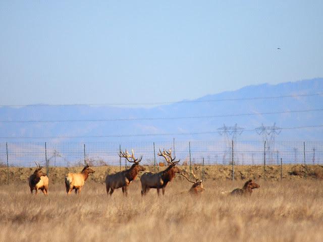 IMG_4587 Tule Elk State Reserve