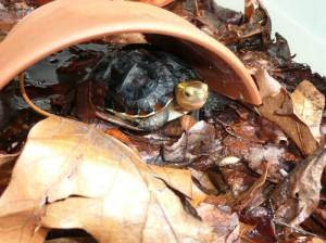 Juvenile Chinese Box Turtle