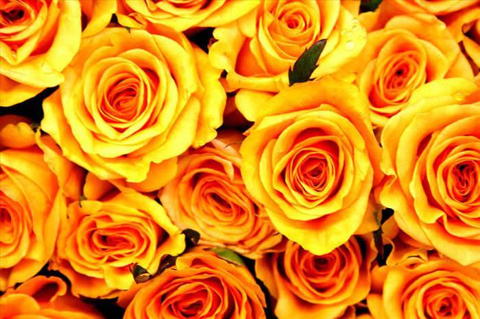 beautiful roses photos