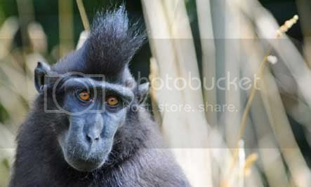 CRESTED MACAQUE (MONYET JAMBUL)