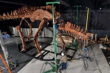 Titanosaur Dinosaur Exhibit at American Museum of Natural History