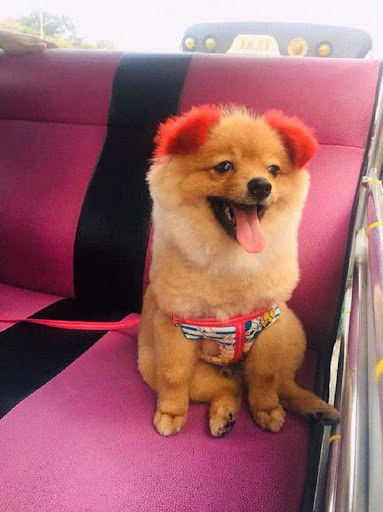 "Following the trend of ""dyeing pink dog ears"", the Thai lady was criticized for making pets allergic to her ears"