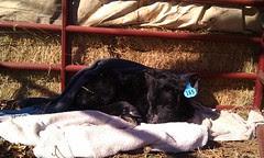 Still alive, but a very sick little calf.