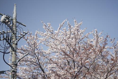 cherry blossoms outside Toho Studio