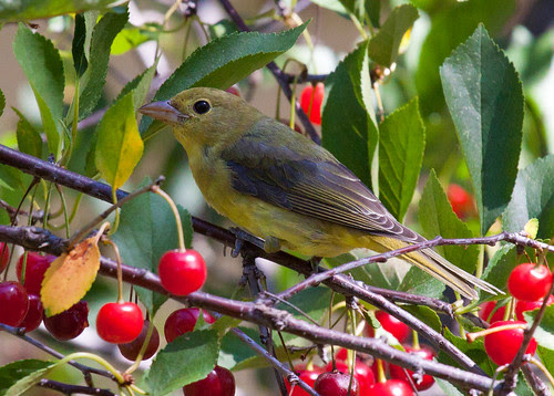 Scarlet Tanager in my cherry tree