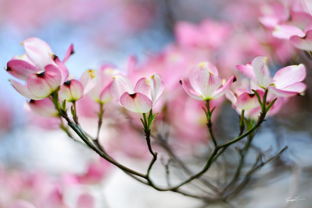 The Best Images Of 2016 Pink Dogwood Blossoms Brady Kesner