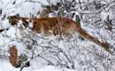 Mountain lion strangled by Colorado man was orphaned cougar cub