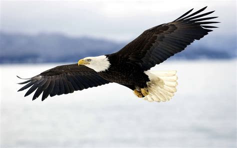 Flying, Eagle, Hd, Wallpaper, Amazing, Desktop Images