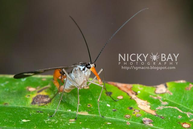 Scorpionfly (Mecoptera) - DSC_6217