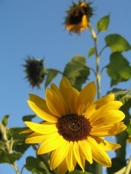 Sunflowers Free stock photos in JPEG (.jpg) 2304x3072 ...