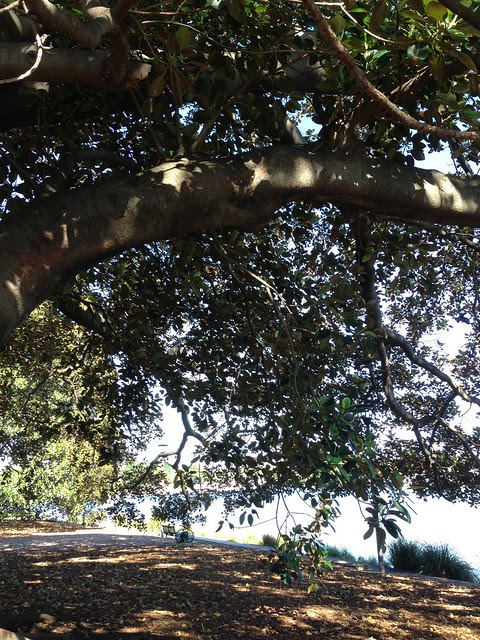 The Moreton Bay Fig Tree that supplies my fruit.