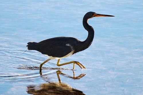 IMG_3749_Tricolored_Heron
