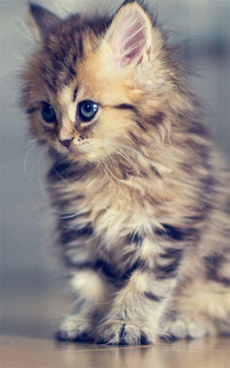 baby kitten android wallpaper