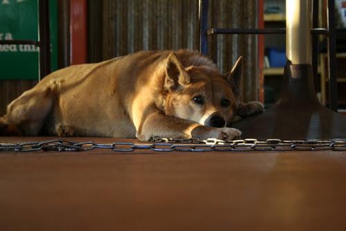 Dinky the Dingo
