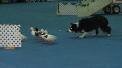 Dog Show 053 (2)