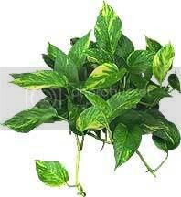 pothos Pictures, Images and Photos