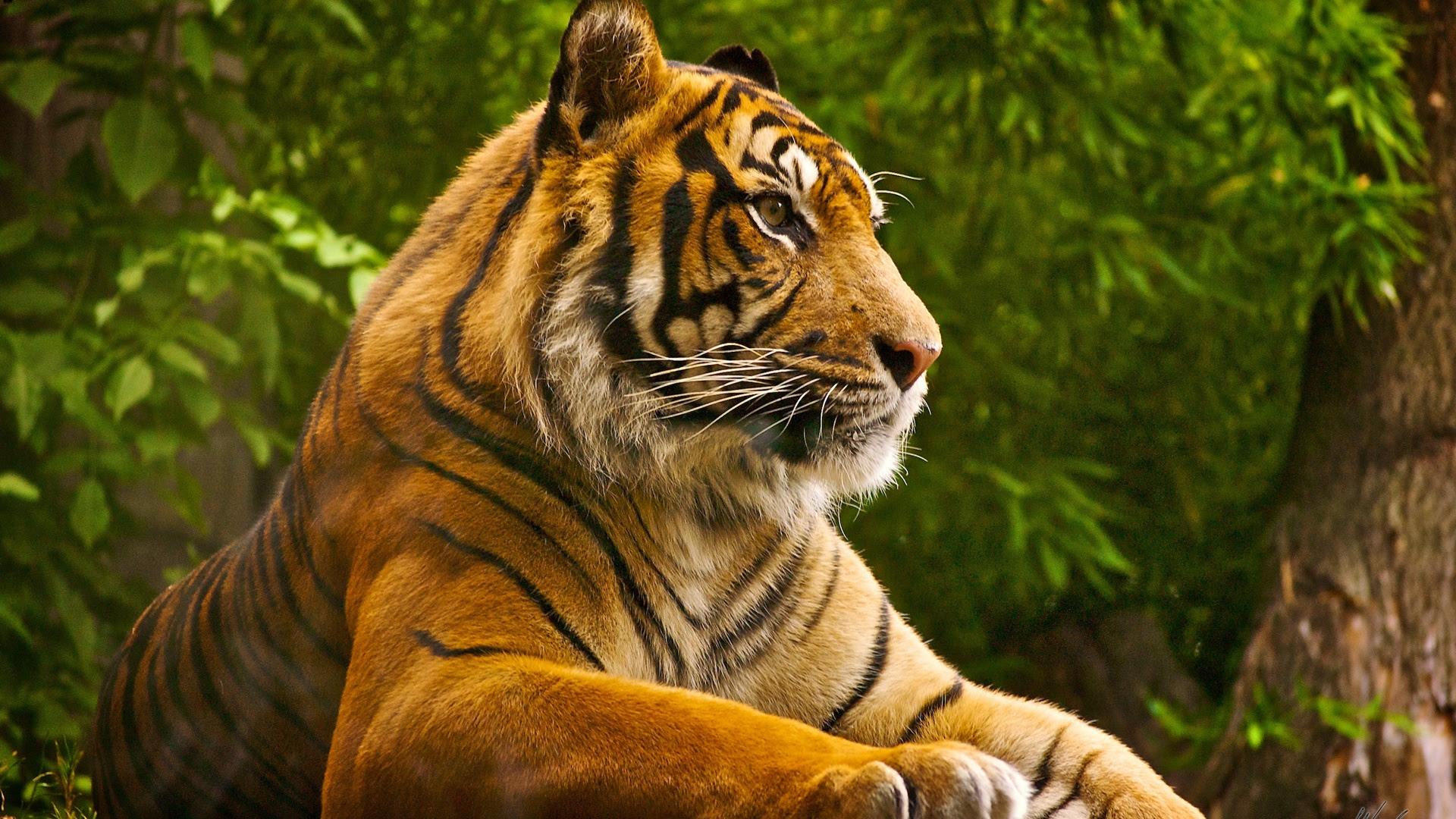 Sumatran Tiger Wallpapers In Jpg Format For Free Download
