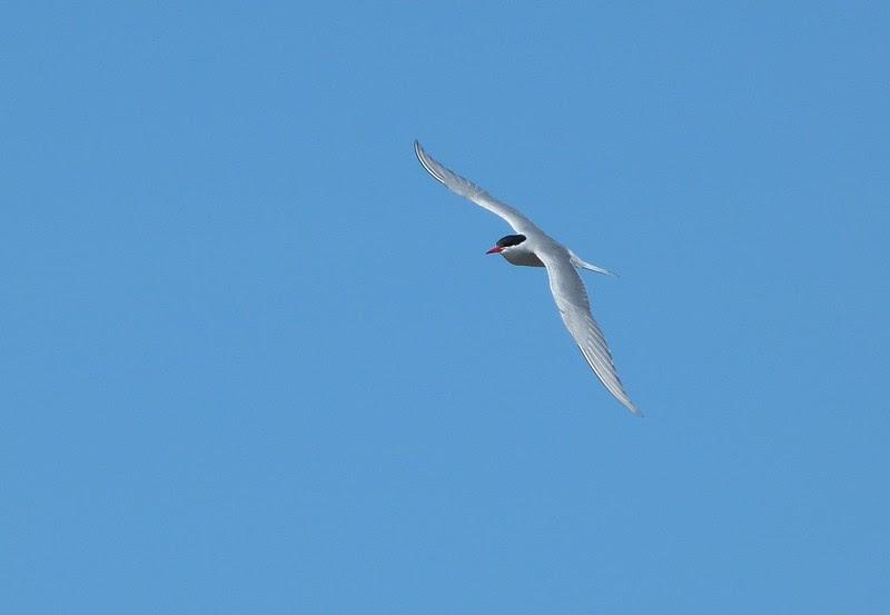 P1050463_2 - Arctic Tern, Isle of Mull