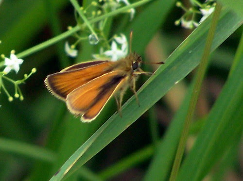 European Skipper butterflies (Thymelicus lineola) - 13