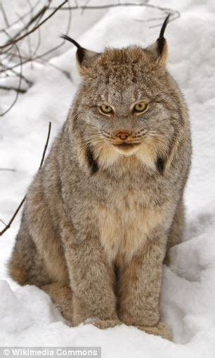 Britain's big cat history revealed: Researchers find proof a LYNX stalked the Devon countryside