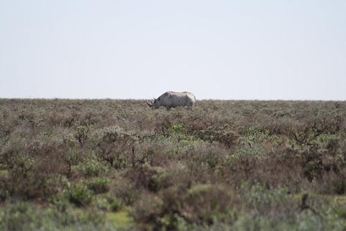 White Rhino - Etosha