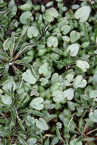 helleborus x sternii seedlings ready