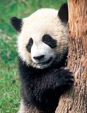 Играть в онлайн слот Panda Panda.Panda Panda не требует программного обеспечения.Для того, чтобы запустить игру вам понадобится интернет браузер.Легко загружается, не тормозит.Шали