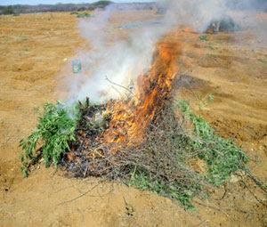 Maconha é incinerada no interior da Bahia (Foto: Divulgação/ Polícia Civil)